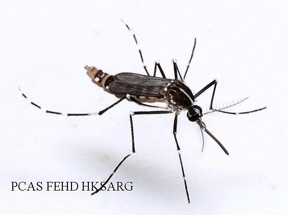 muoi Aedes albopictus